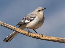 Northern Mockingbird. Adult Northern Mockingbird Perched On Branch With Clear Background In Southern Arizona royalty free stock photography