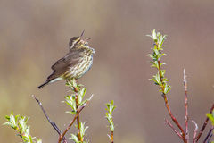 Adult Northern Waterthrush Royalty Free Stock Image