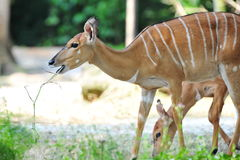 Adult Nyala Stock Photo