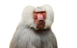 Free Adult Old Baboon Monkey Pavian, Papio Hamadryas Close Face Expression Observing Staring Vigilant Looking Camera Isolated White Royalty Free Stock Image - 163572166