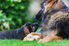 Adult Old German Shepherd dog lies with a puppy. Adult Old German Shepherd dog plays lies with a puppy in the garden Royalty Free Stock Photos