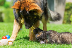 Adult Old German Shepherd dog plays with a puppies on the lawn. Adult Old German Shepherd dog who plays with a puppies on the lawn Royalty Free Stock Photos