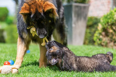 Adult Old German Shepherd dog plays with a puppies on the lawn. Adult Old German Shepherd dog who plays with a puppies on the lawn Stock Photo