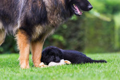Adult Old German Shepherd dog plays with a puppies on the lawn. Adult Old German Shepherd dog who plays with a puppies on the lawn Royalty Free Stock Photography