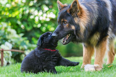 Adult Old German Shepherd dog plays with a puppy. In the garden Stock Photos