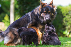 Adult Old German Shepherd dog with puppies. Adult Old German Shepherd dog sitting with puppies on the lawn Royalty Free Stock Photo