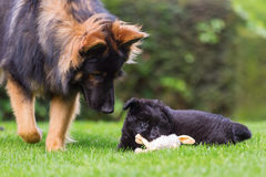 Adult Old German Shepherd dog plays with a puppies on the lawn. Adult Old German Shepherd dog who plays with a puppies on the lawn Stock Image