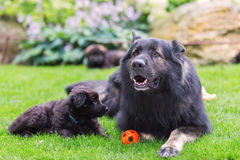 Adult Old German Shepherd lies with a puppy on the lawn. Adult Old German Shepherd dog lies with a cute puppy on the lawn Stock Image