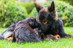 Adult Old German Shepherd lies with a puppy on the lawn. Adult Old German Shepherd dog lies with a cute puppy on the lawn Stock Photography