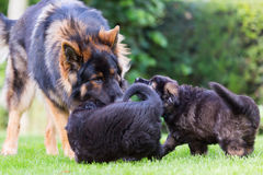 Adult old german shepherd plays with puppies in the garden Stock Photography