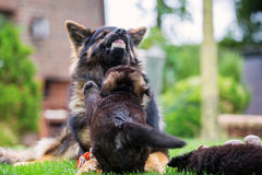Adult Old German Shepherd shows aggression against a puppy. Adult Old German Shepherd shows aggression against with a puppy on the lawn Stock Photos