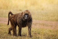 Adult Olive baboon foraging in arid grassland royalty free stock photography