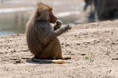 Adult olive baboon monkey sitting and eating bamboo leaves. Outdoors in nature royalty free stock photos