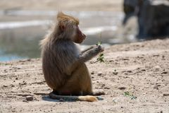 Adult olive baboon monkey sitting and eating bamboo leaves. Outdoors in nature royalty free stock image