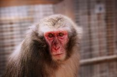 A adult one of macaque in park. He lives in mainly in Asia royalty free stock images