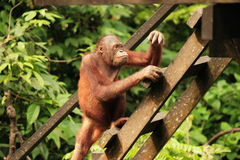 Adult Orang-Utan. On wooden steps royalty free stock images