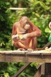 Adult Orang-Utan. Sitting on wooden platform Royalty Free Stock Photography