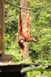 Adult Orang-Utan hanging from rope. Sepilok Rehabilitation Centre, Sabah, Malaysia Royalty Free Stock Photo