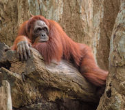 Adult orangutan lying deep in thoughts Stock Photos