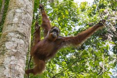 Adult orangutan moves from branch to branch (Sumatra, Indonesia) Stock Photography