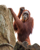 Adult orangutan scratching its head Stock Photos