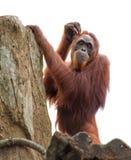 Adult orangutan scratching its head Stock Photos
