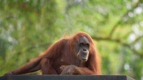 Adult orangutan Royalty Free Stock Photography