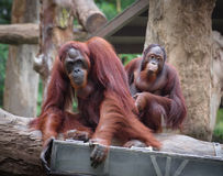 Adult orangutans Royalty Free Stock Photo
