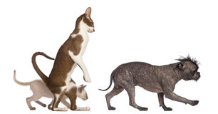 Adult Oriental Shorthair standing on hinds leg Stock Images