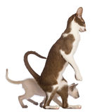 Adult Oriental Shorthair standing on hinds leg Royalty Free Stock Photography