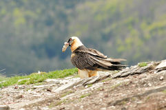 Adult osprey eats in the Pyrenees Stock Photo