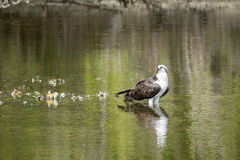 Adult Osprey in an Estuary Royalty Free Stock Photos