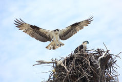 Adult Osprey Landing on It's Nest with Baby Osprey Waiting Patie. An adult Osprey lands on it's nest with it's baby osprey waiting paitently Stock Photo