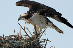 Adult Osprey at Nest Royalty Free Stock Photos