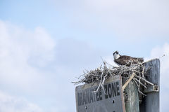 Adult Osprey in a Nest Royalty Free Stock Photo