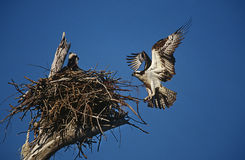 Adult Osprey (Pandion haliaetus) returning to nest with nestling Royalty Free Stock Image