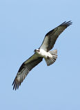 Adult Osprey - Pandion haliaetus Royalty Free Stock Image