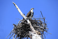 Osprey On It's Nest Royalty Free Stock Photo
