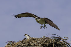 Adult Osprey with young. Stock Image