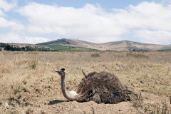 Adult ostrich on eggs stock photography