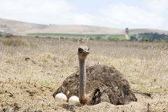Adult ostrich on eggs stock photos