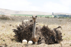 Adult ostrich on eggs stock photo