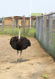 Adult ostrich enclosure. Altai. Royalty Free Stock Images