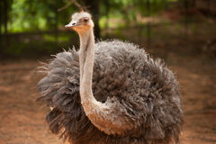 The Adult Ostrich enclosure. Curious African Ostrich. Royalty Free Stock Photo