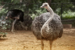 The Adult ostrich enclosure. Curious african ostrich Stock Photo