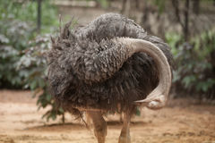 The Adult Ostrich enclosure. Curious African Ostrich. Royalty Free Stock Photos