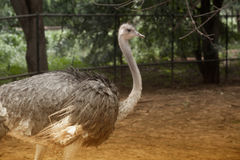 The Adult Ostrich enclosure. Curious African Ostrich Stock Images