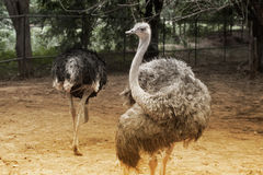 The Adult Ostrich enclosure. Curious African Ostrich. Stock Photos