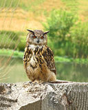 Adult owl on a tree stump Royalty Free Stock Images
