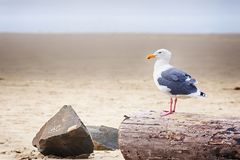 Adult Pacific Seagull Stock Photo